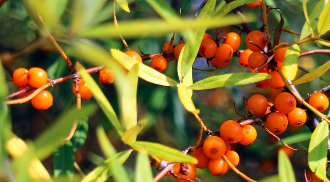 sea-buckthorn-440791_1280 (2)